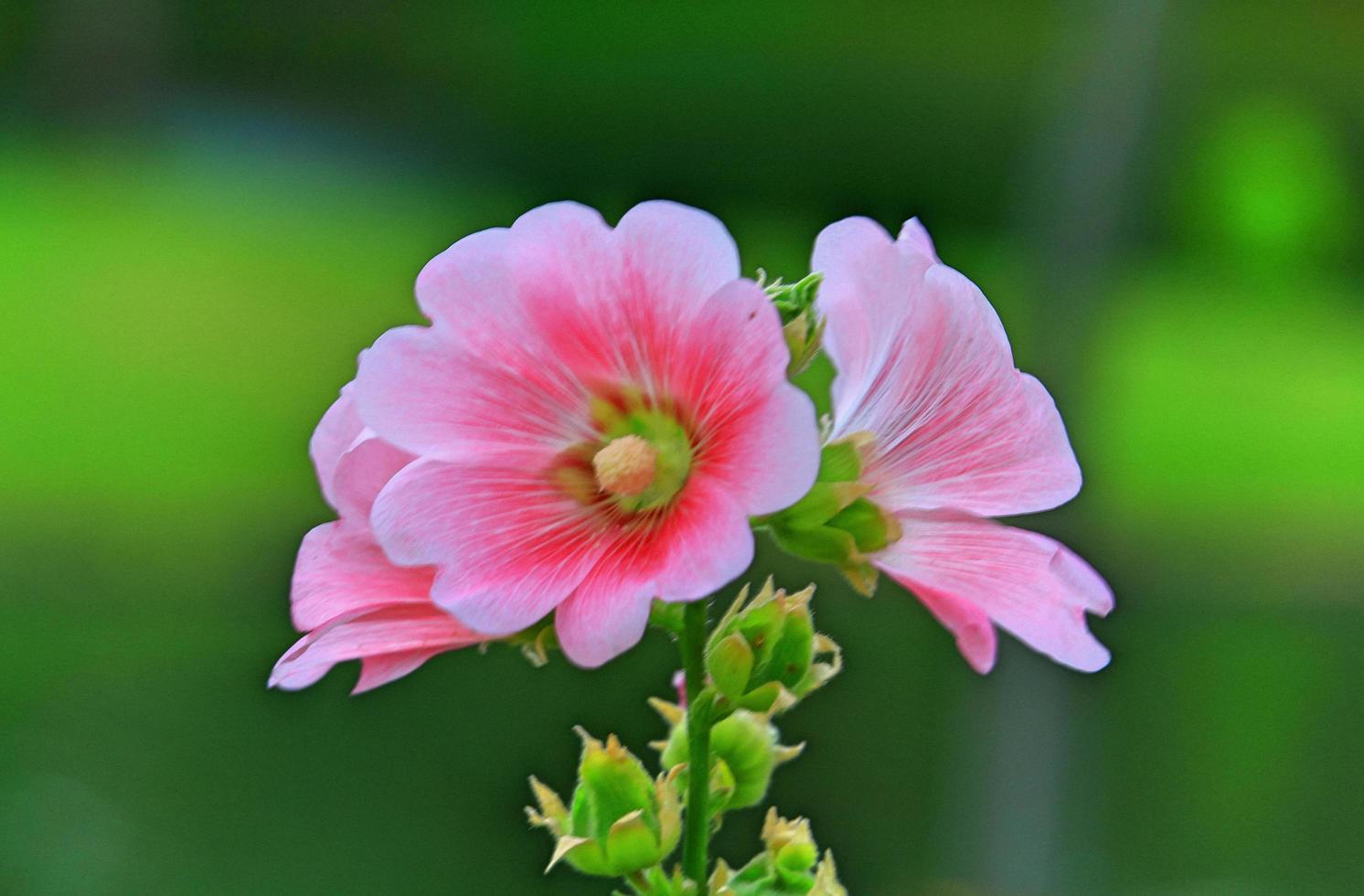 rosa malvablommor som blommar i trädgården foto