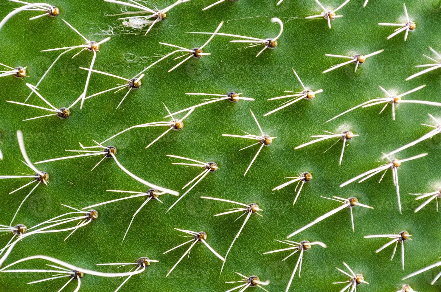 grön kaktus konsistens foto