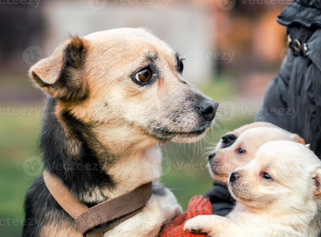 vuxen hund och valpar med en man foto