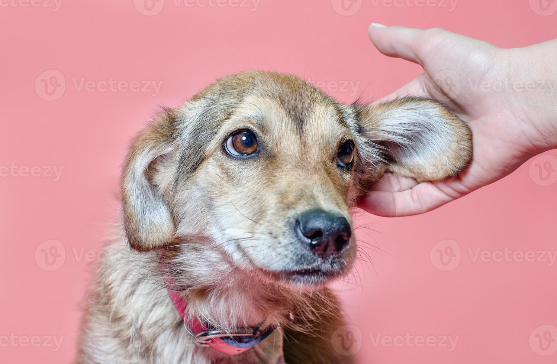 person som klappar en hund på en rosa bakgrund foto