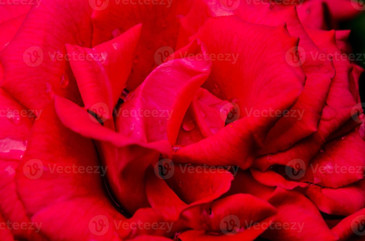 närbild av en röd ros foto