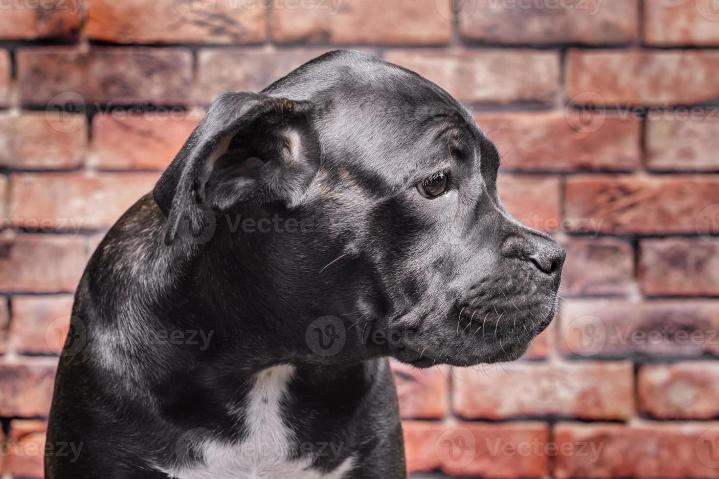 porträtt av en svart valp foto