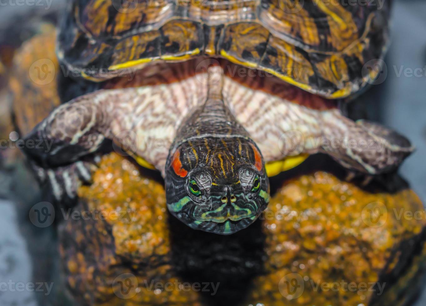 närbild av en sköldpadda foto