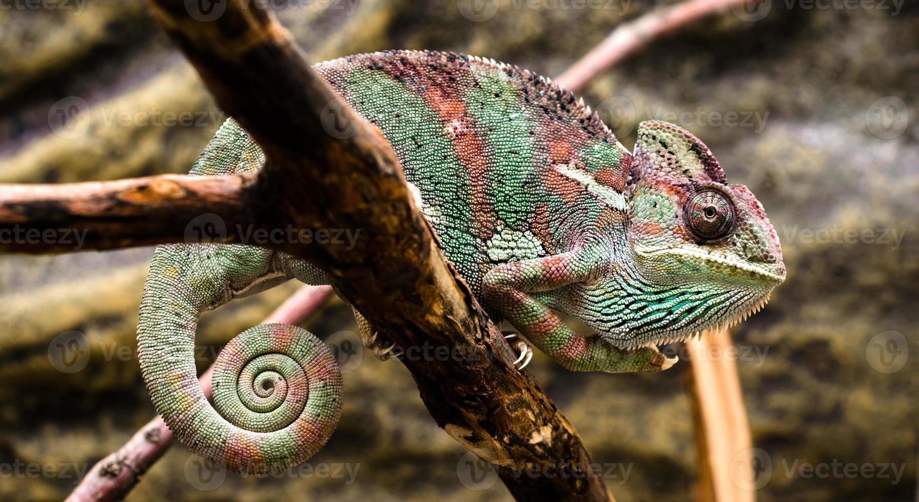 kameleont sitter på en gren foto