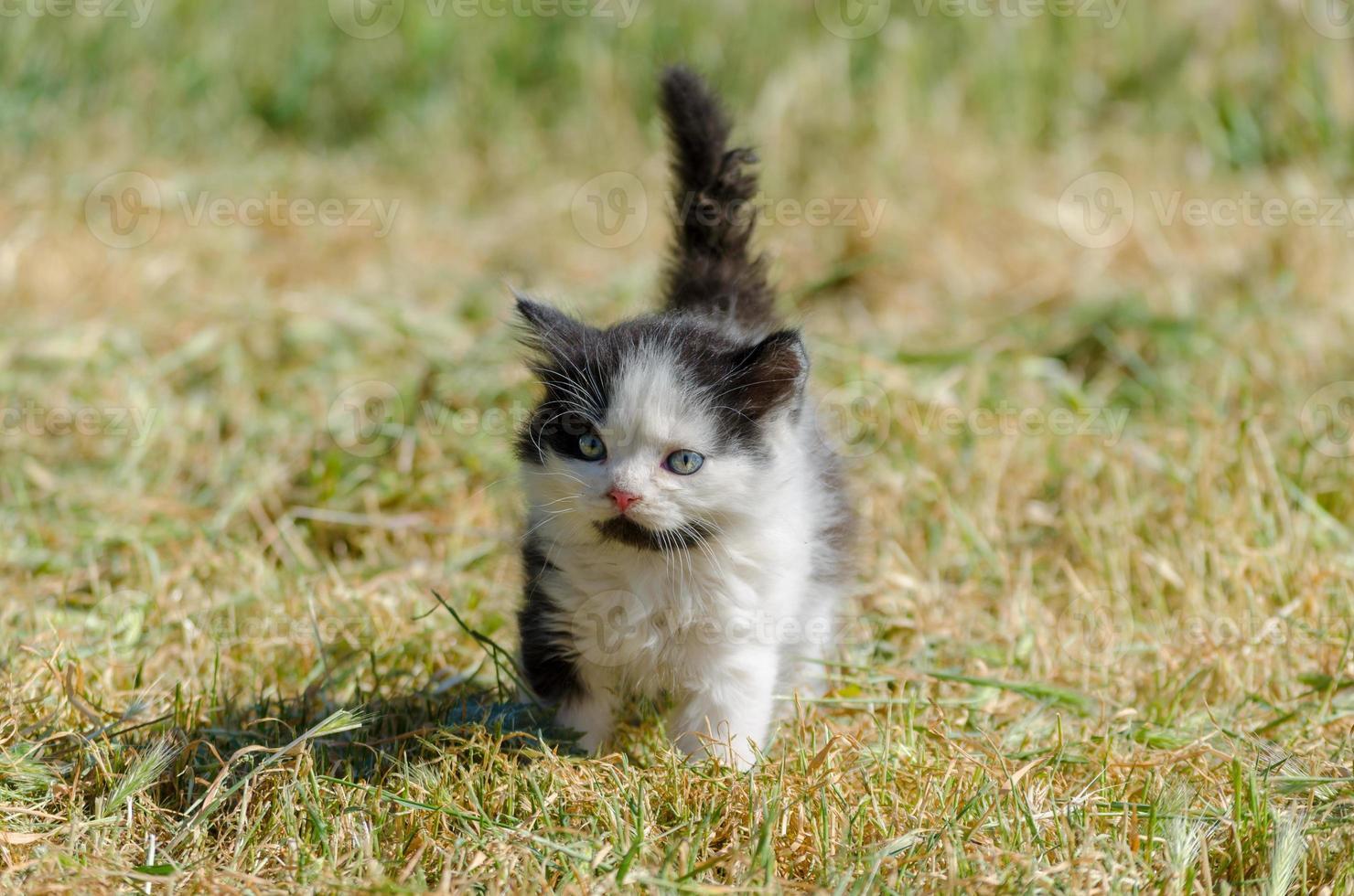 svartvit kattunge i gräset foto