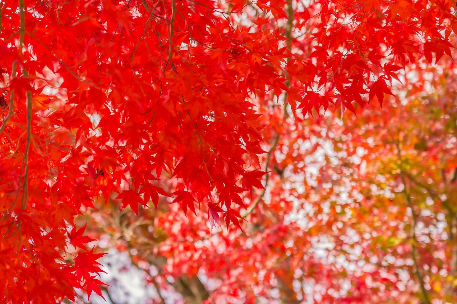 vackra röda lönnlöv på träd foto