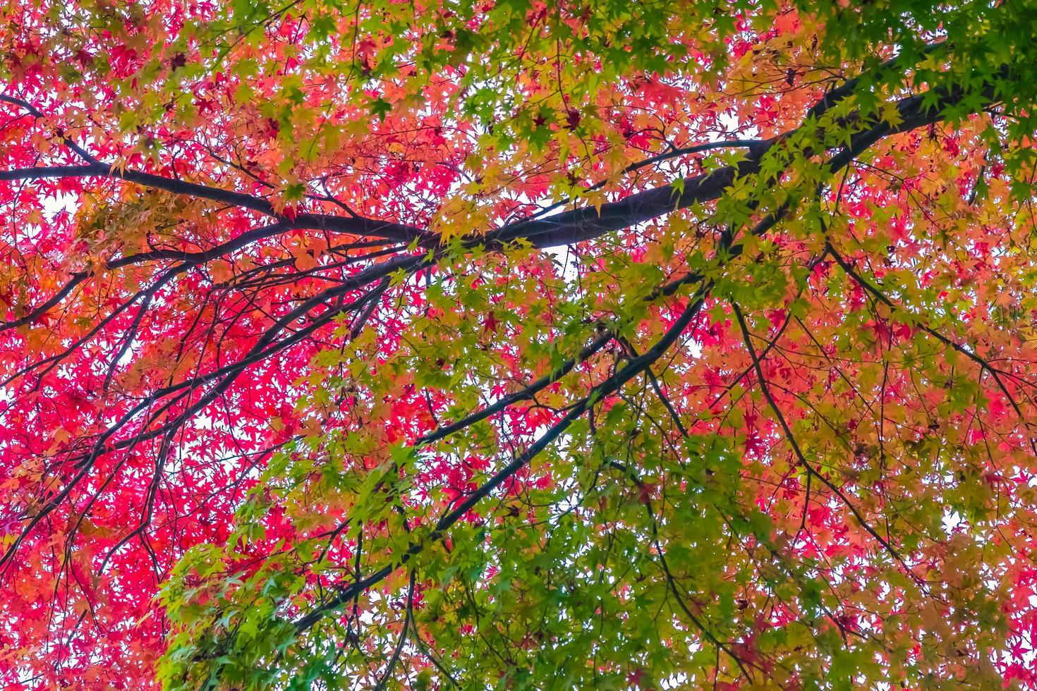 vackra röda och gröna lönnlöv på träd foto