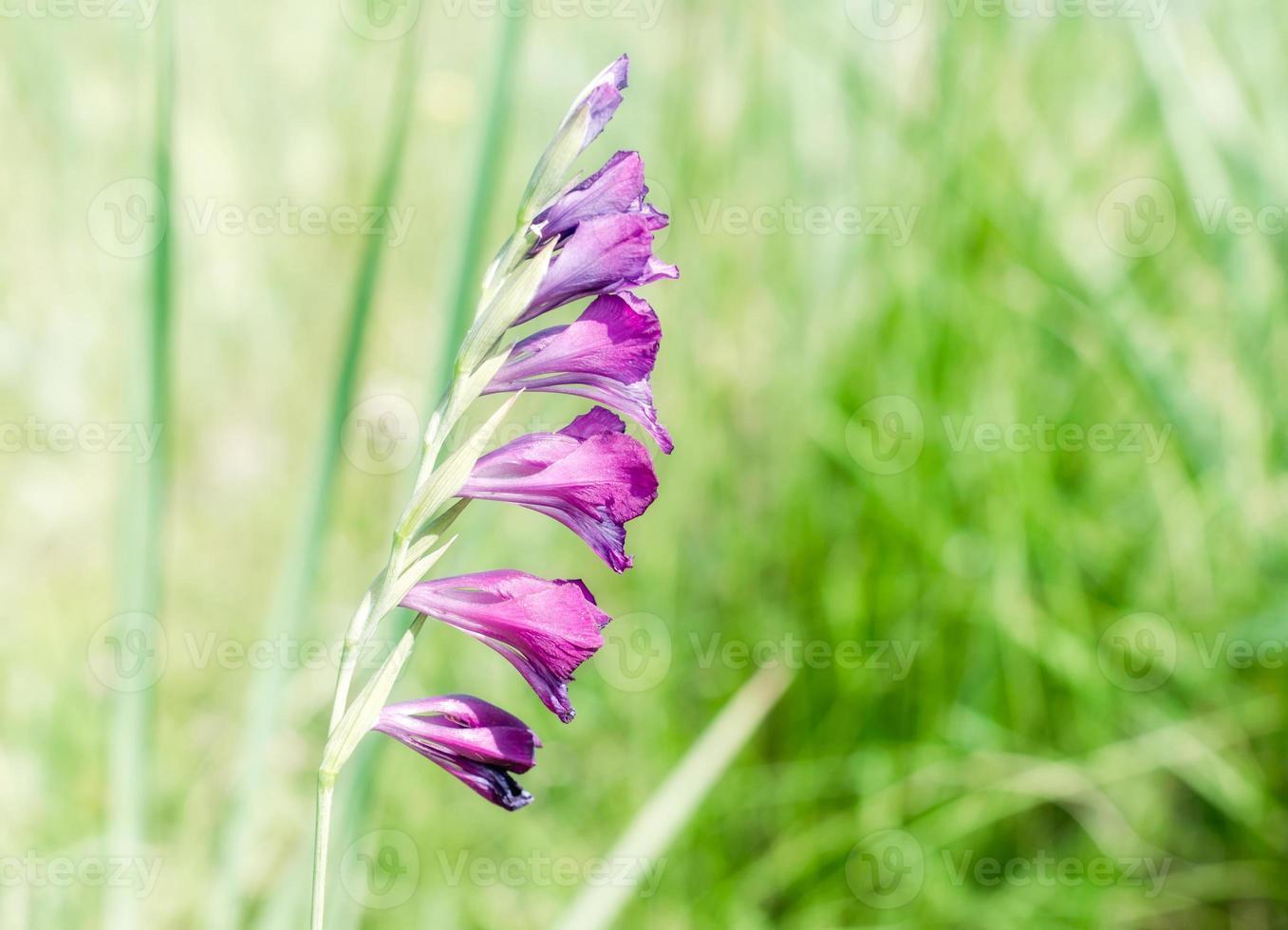 lila blommor i ett grönt fält foto