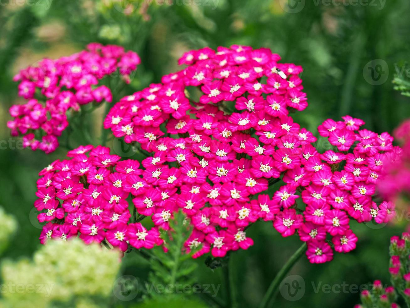 rosa rölleka blommor foto