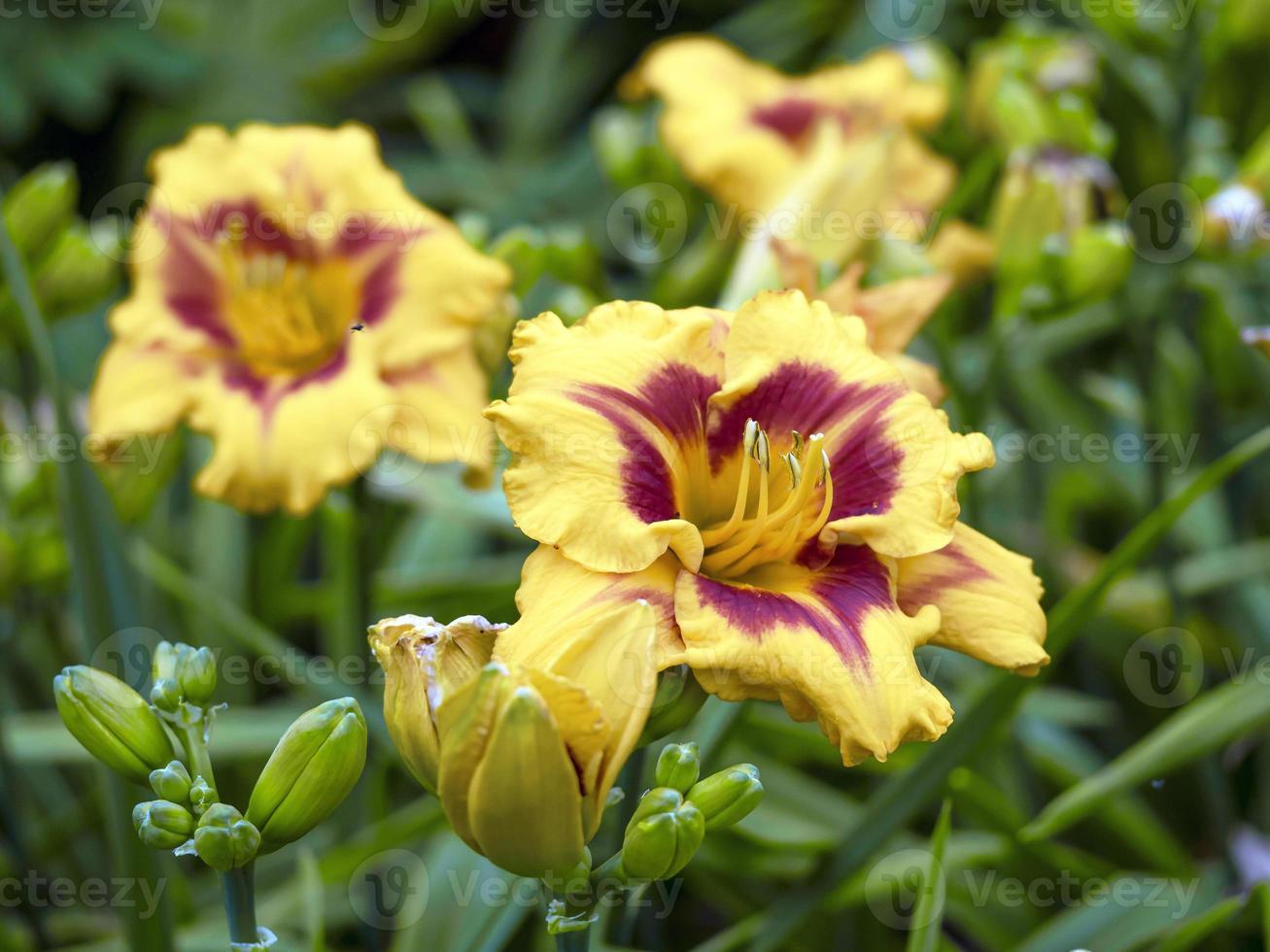 gula och lila dagsliljor foto
