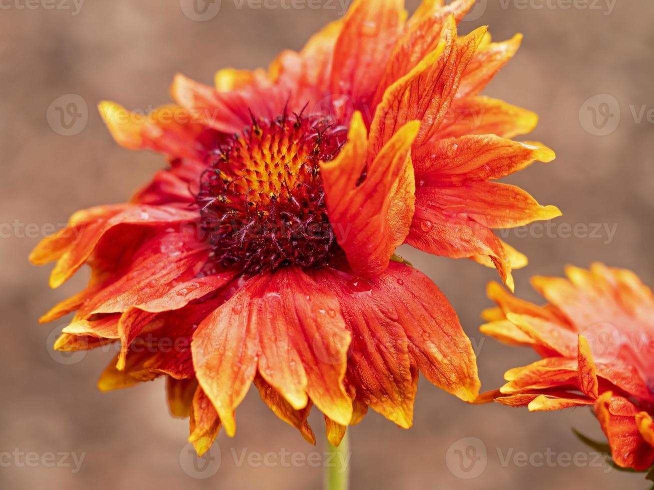 närbild av en blomma för Gaillardia grandiflora filt foto