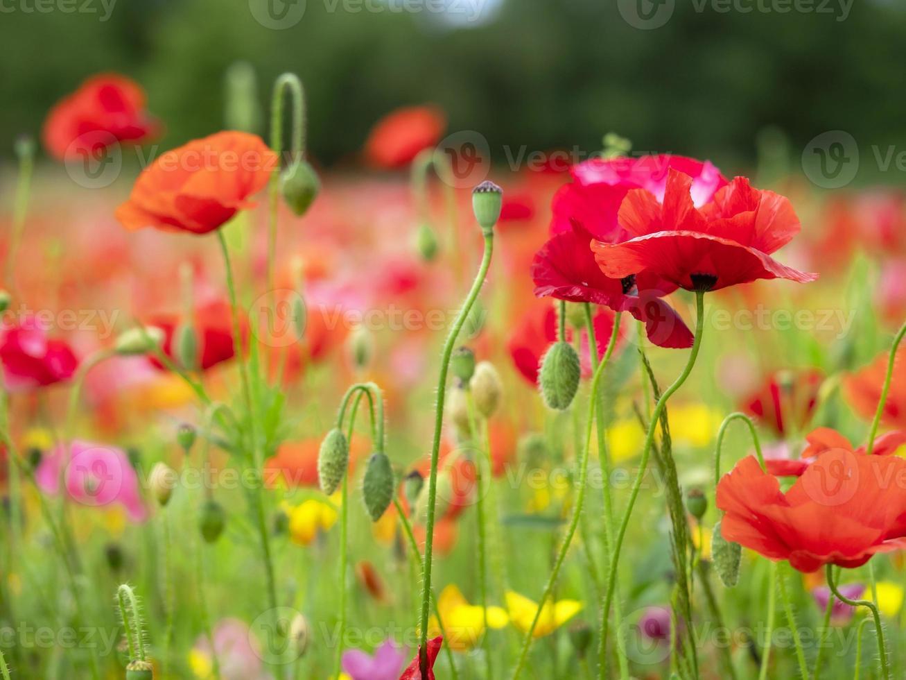 färgglada vallmo blommor i ett fält foto