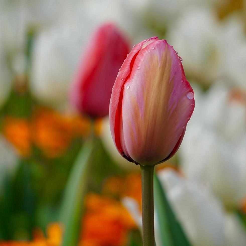 rosa och röda tulpaner i trädgården under vårsäsongen foto