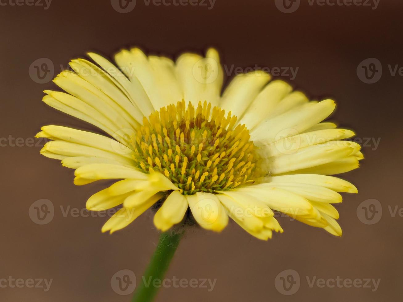 gul fleabane blomma foto
