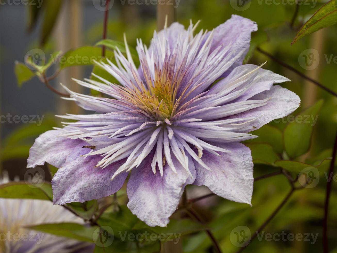 vacker lila blomma foto