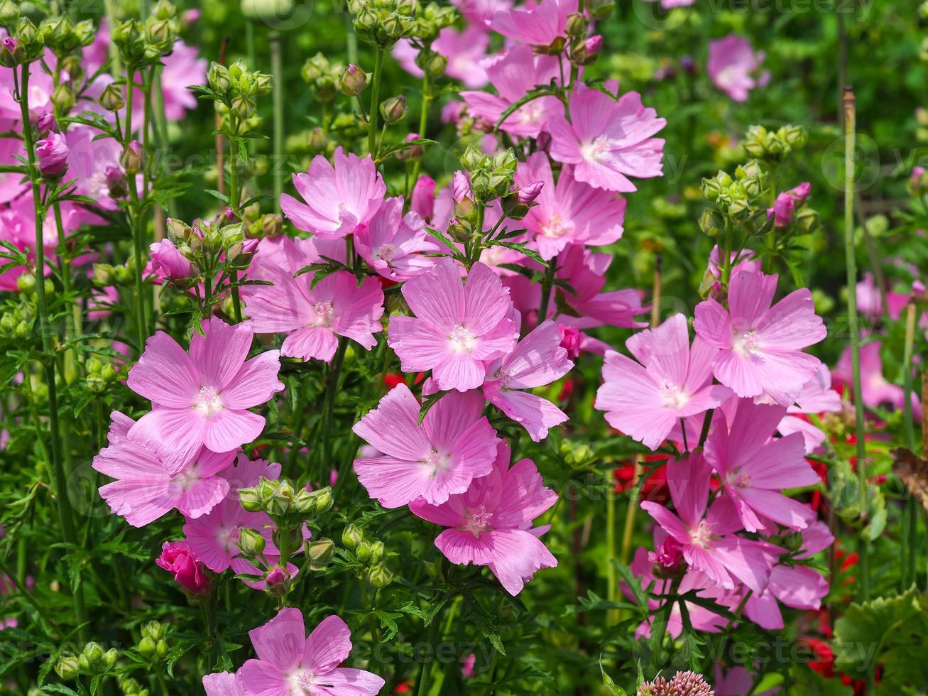 rosa mallow blommor foto