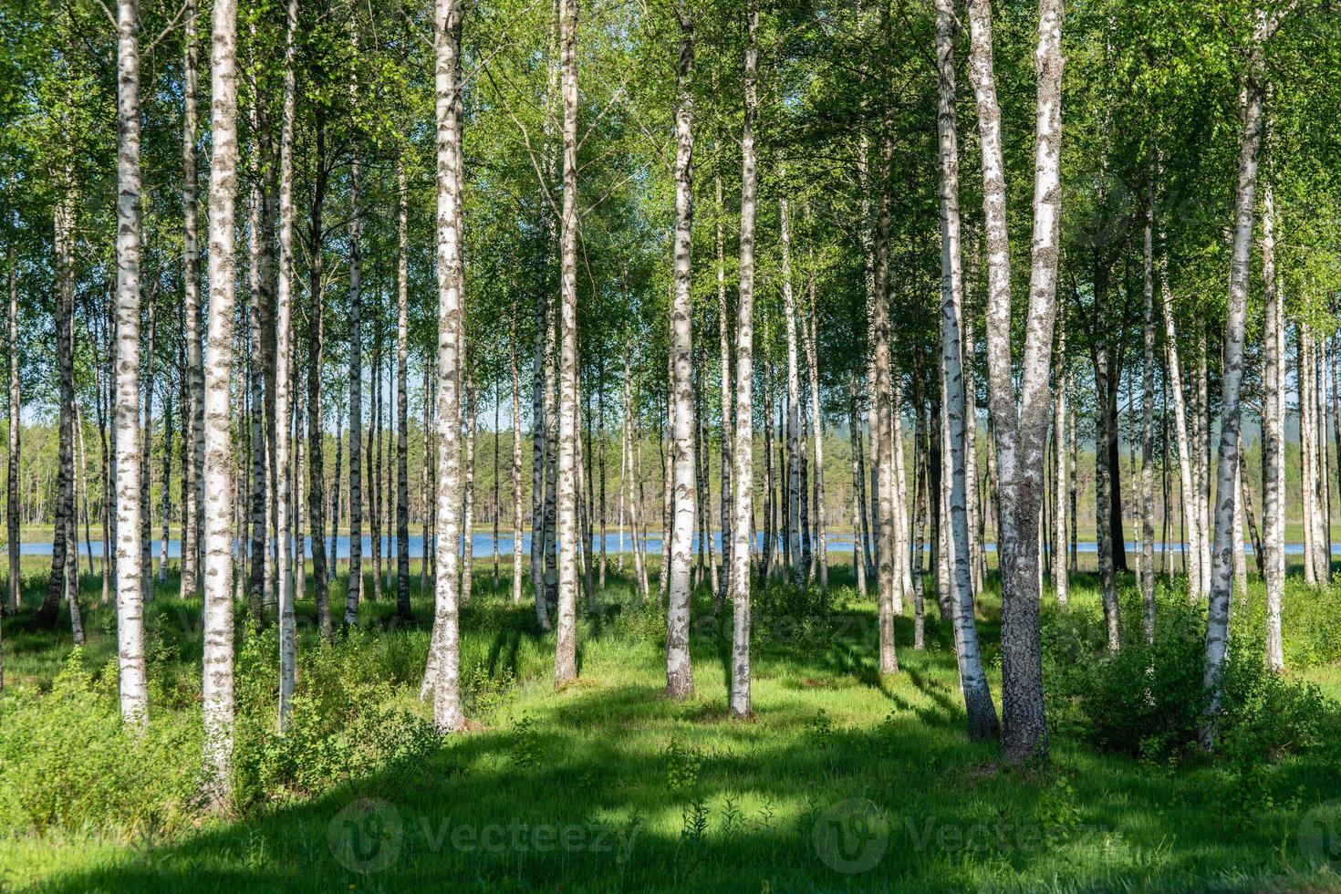 lund av björkträd foto