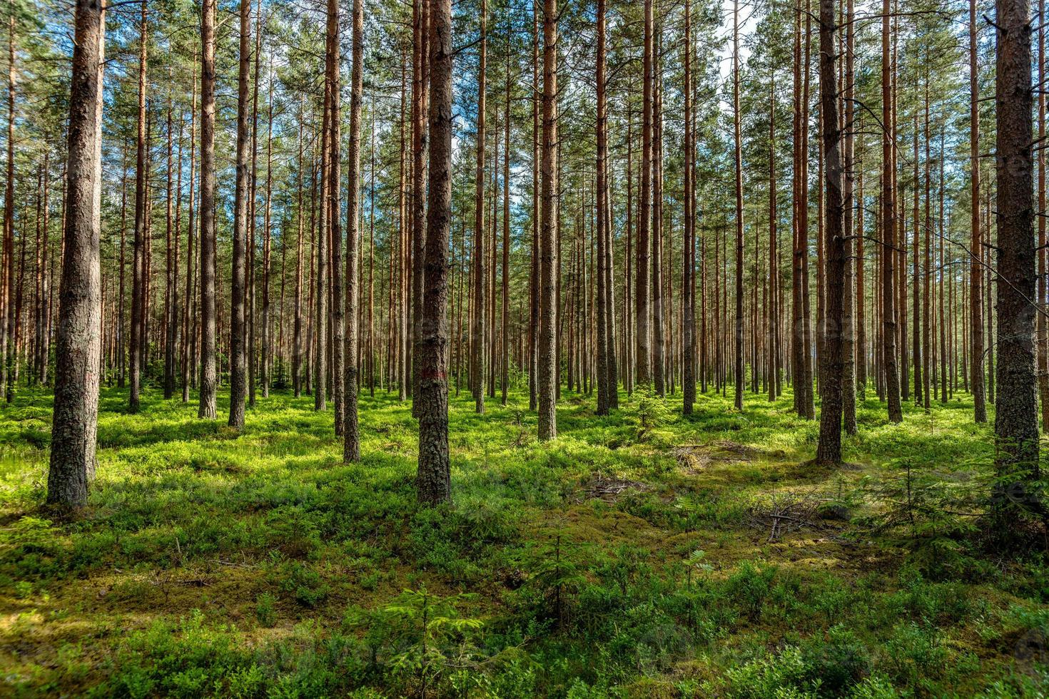 frodig grön tallskog i solljus foto