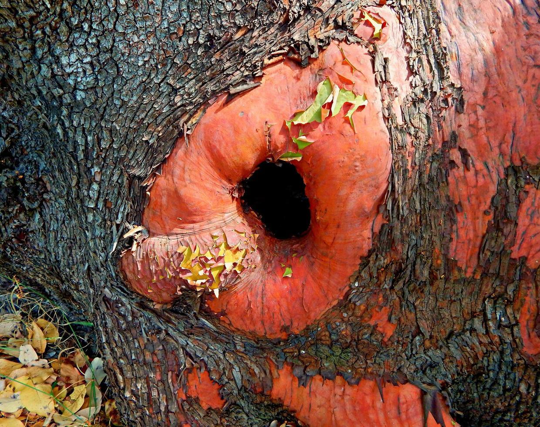 stamhål - basen på ett stort madronträd - casey state rec. webbplats - mcleod, eller foto