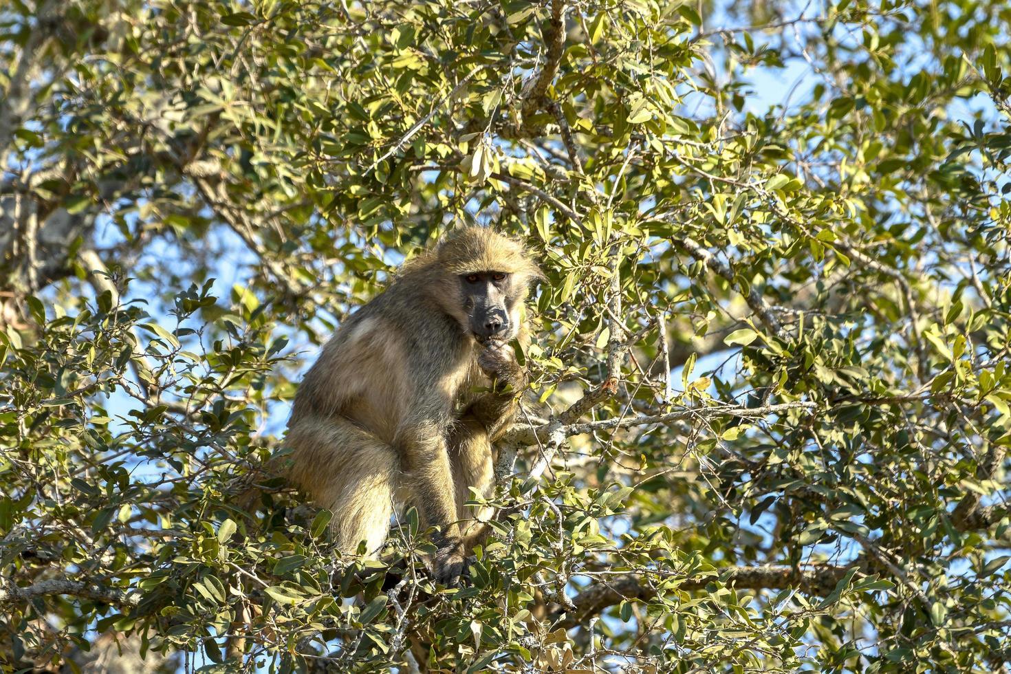vild babian som äter frukt på ett träd - Sydafrika foto