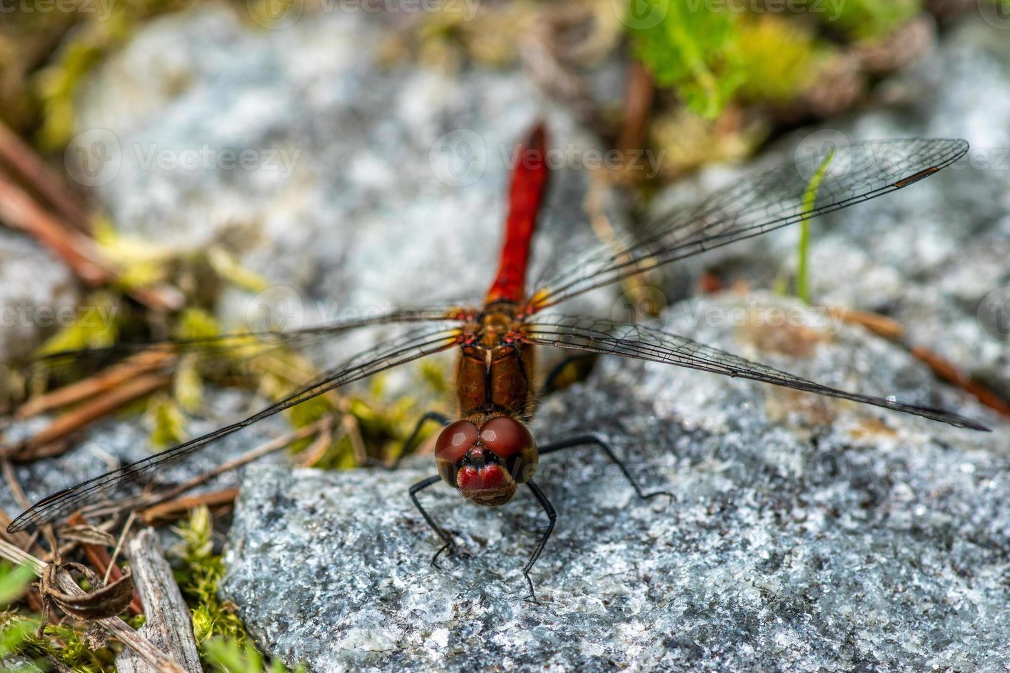 detaljerad närbild av en rödbrun sländor foto