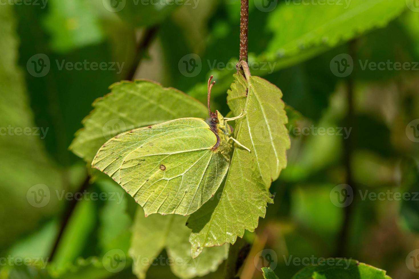 svavelfjäril som gömmer sig på ett blad foto