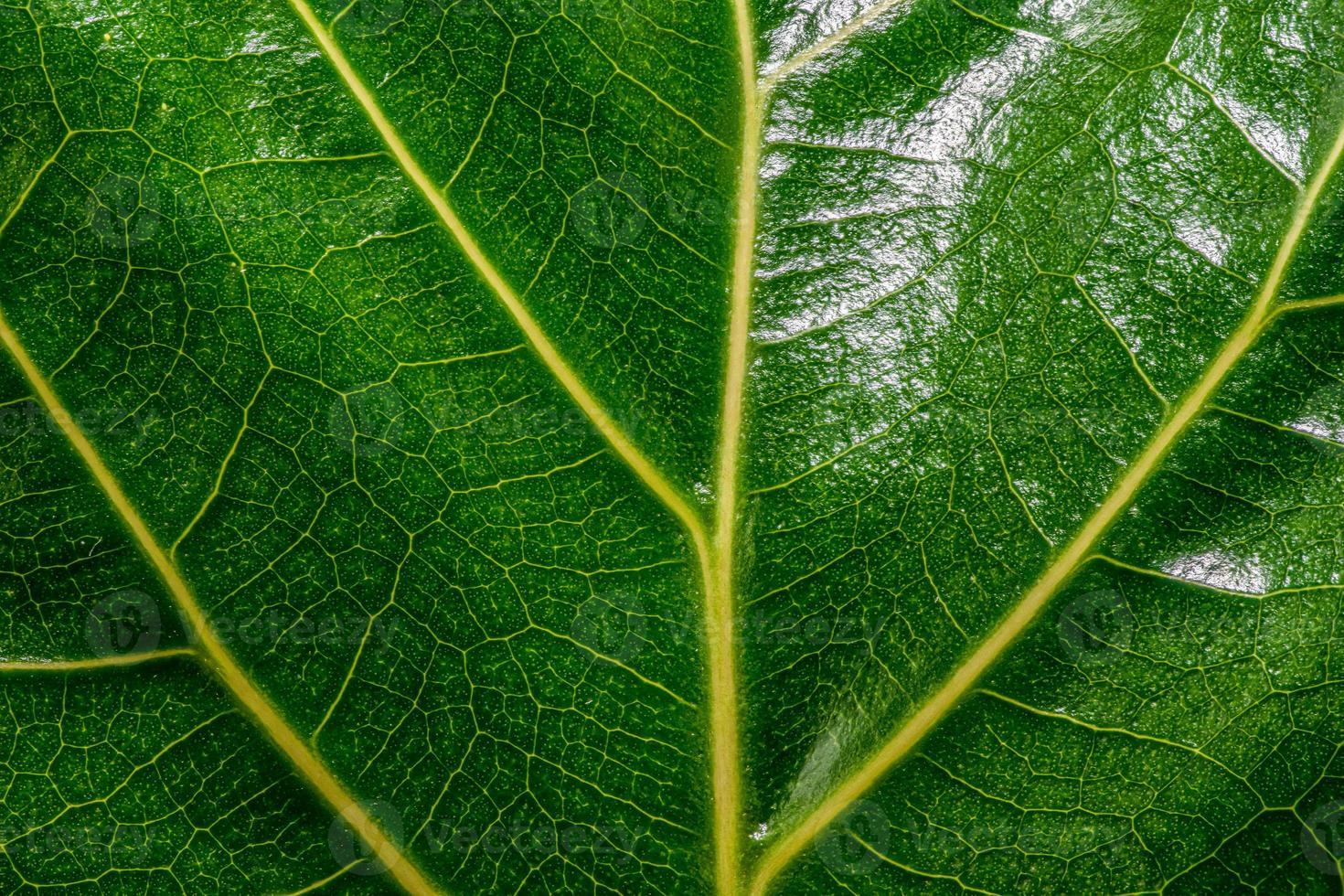 glänsande grönt blad med gula vener foto