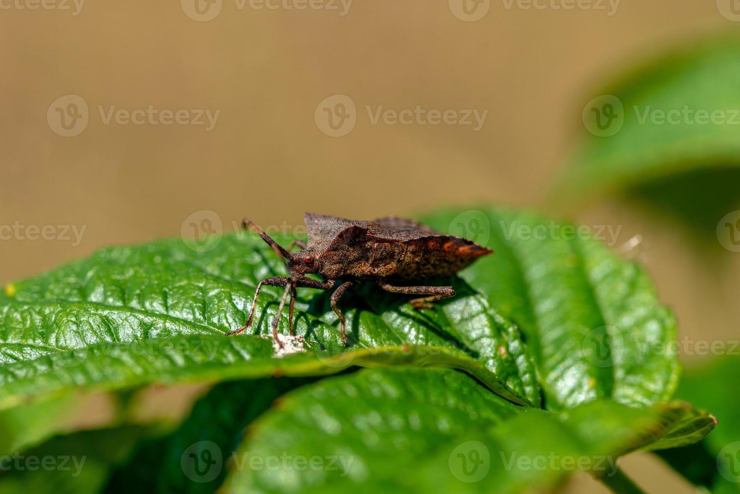 bronssköldbugg på ett grönt blad foto