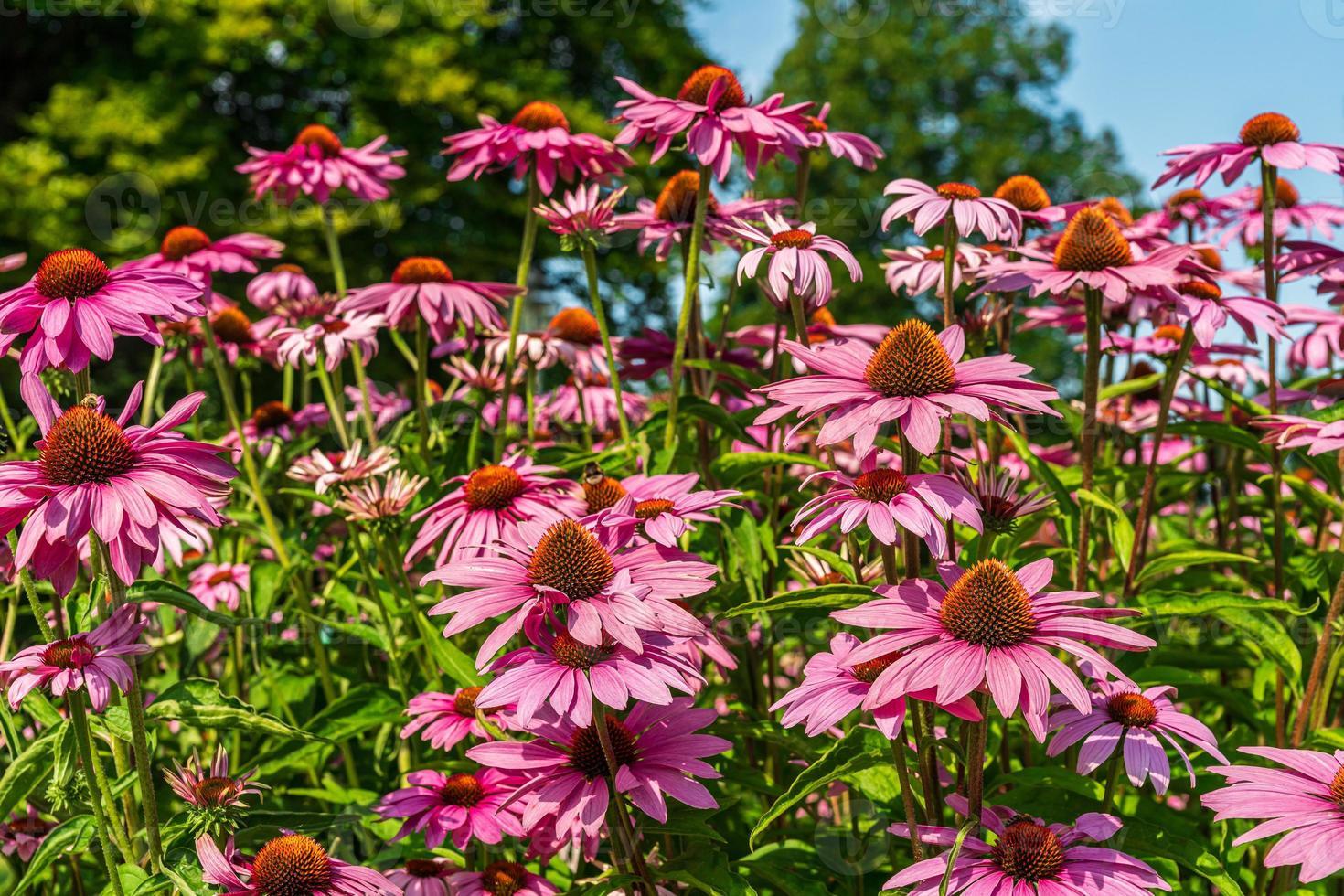 låg vinkel syn på rosa coneflowers foto