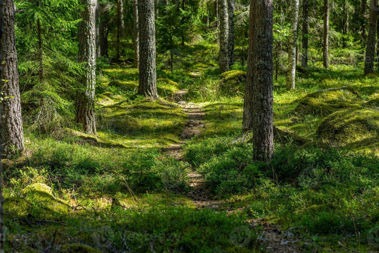 gångväg genom en tallskog i sverige foto