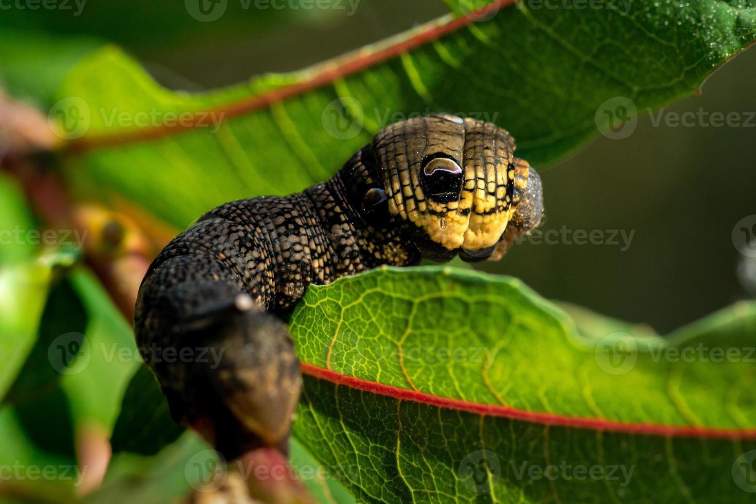 närbild av en stor larv som kryper bland gröna blad foto