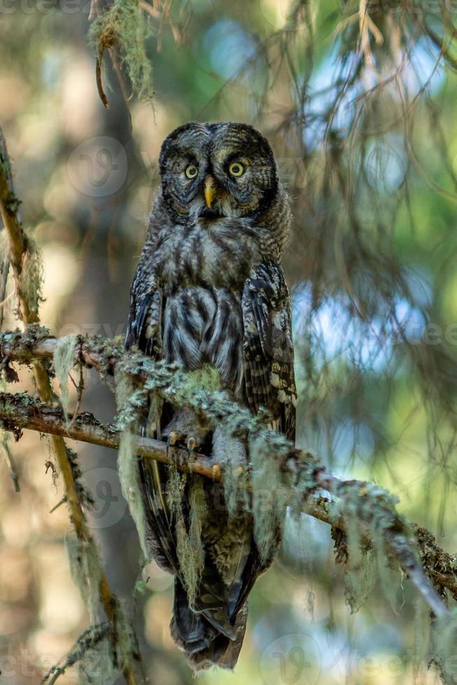 närbild av en stor uggla som sitter i ett träd i skogen foto