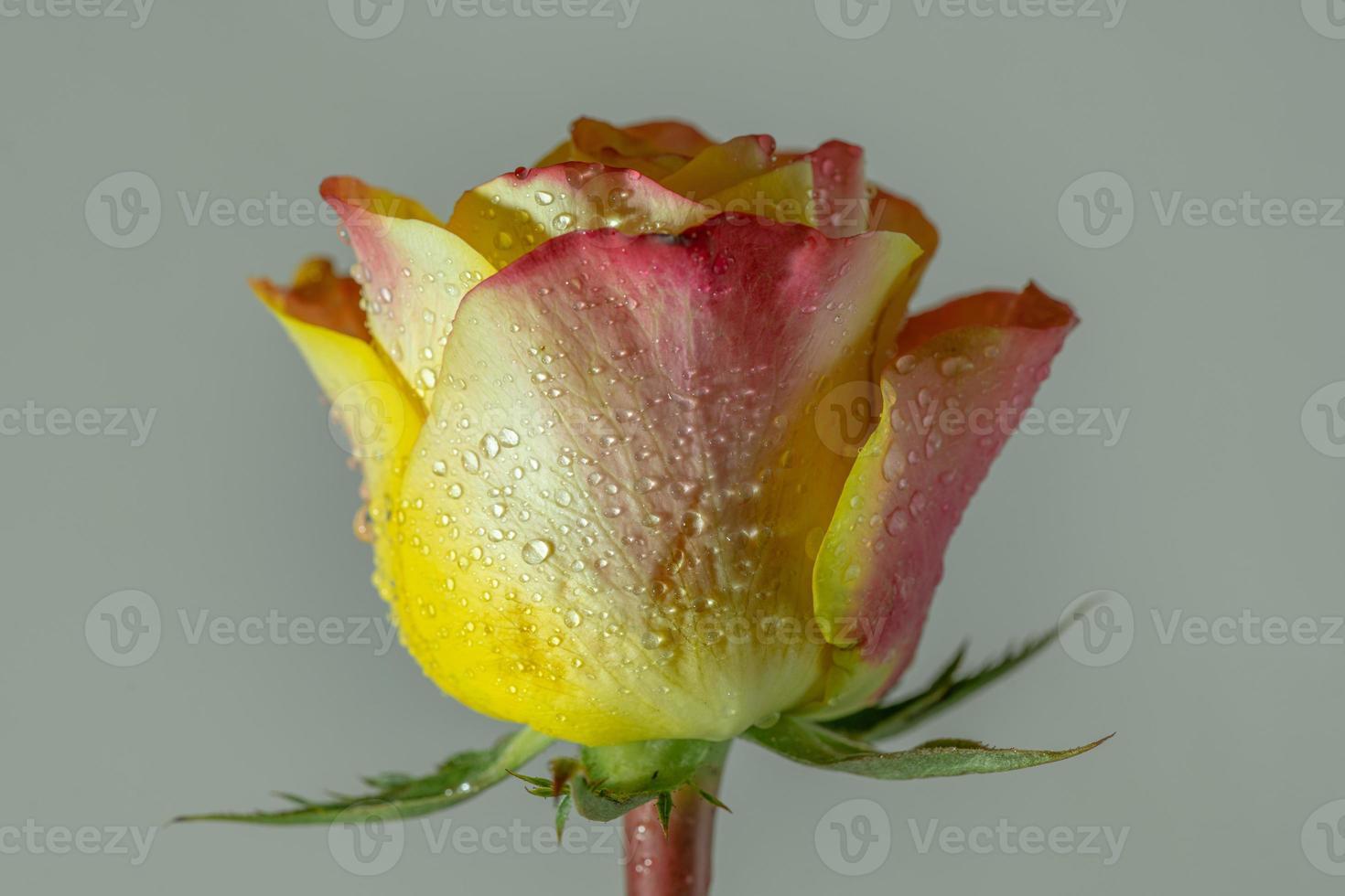en enda gul och rosa ros täckt av fukt foto
