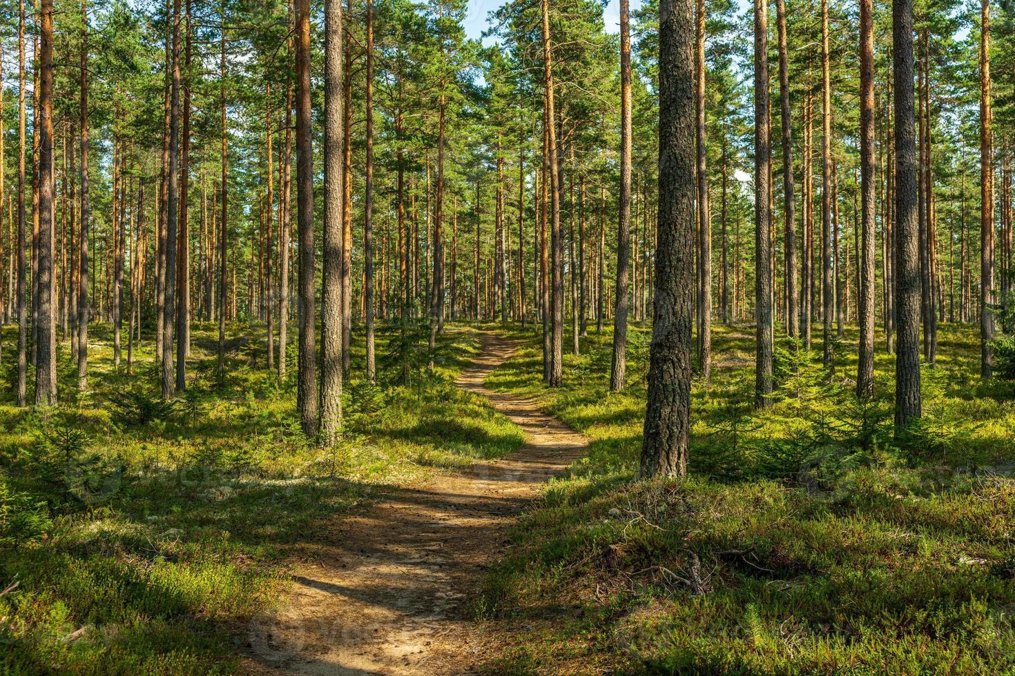 gångväg i en vacker tallskog i sverige foto