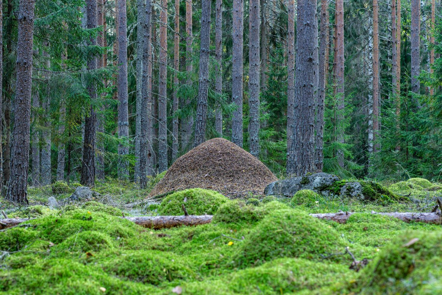 stor myrstack mitt i en tall- och granskog foto