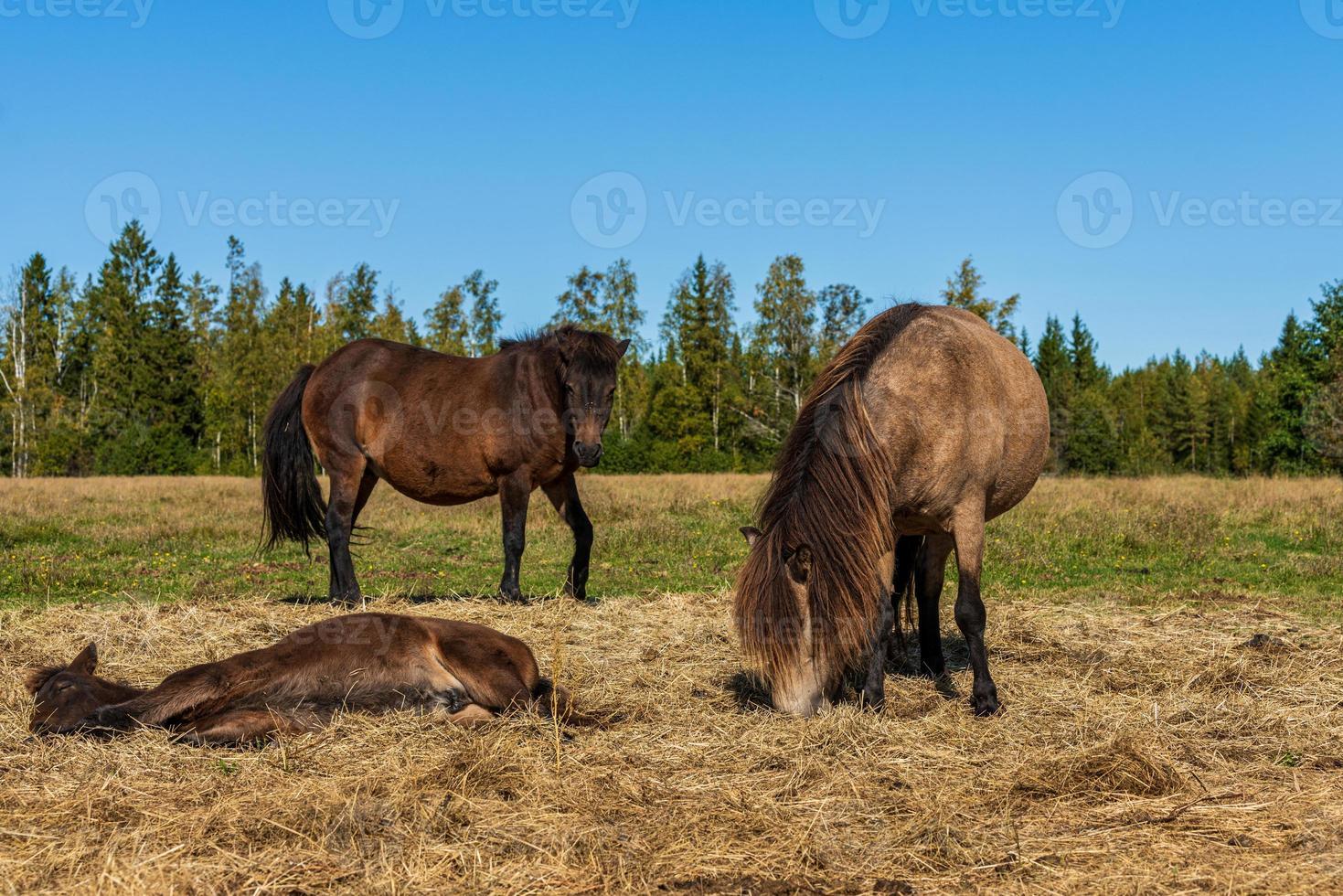 isländska hästar i ett fält foto