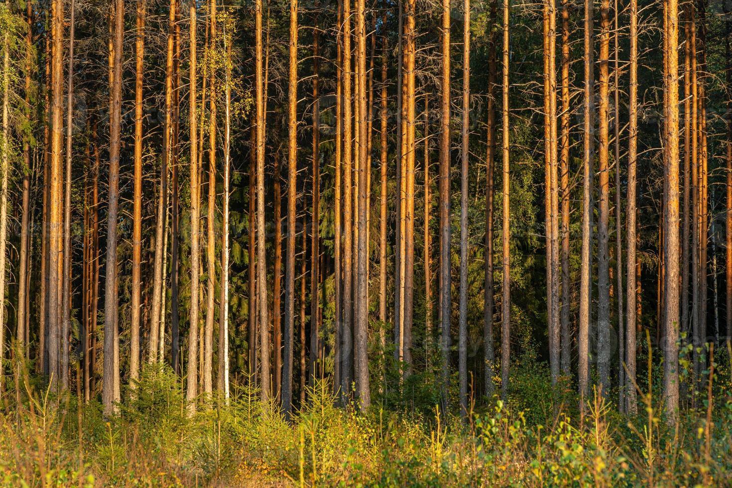 tall- och granskog i gult kvällssolljus foto