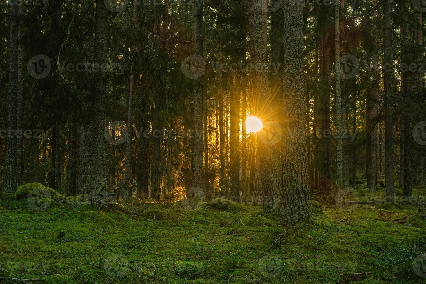 tall- och granskog med solnedgång foto
