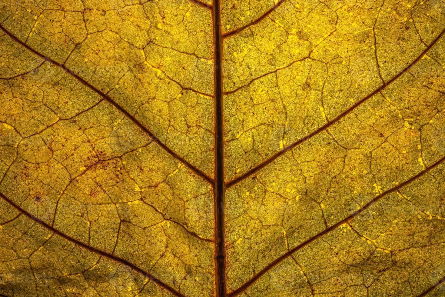 närbild av ett bakgrundsbelyst gult blad med röda vener foto