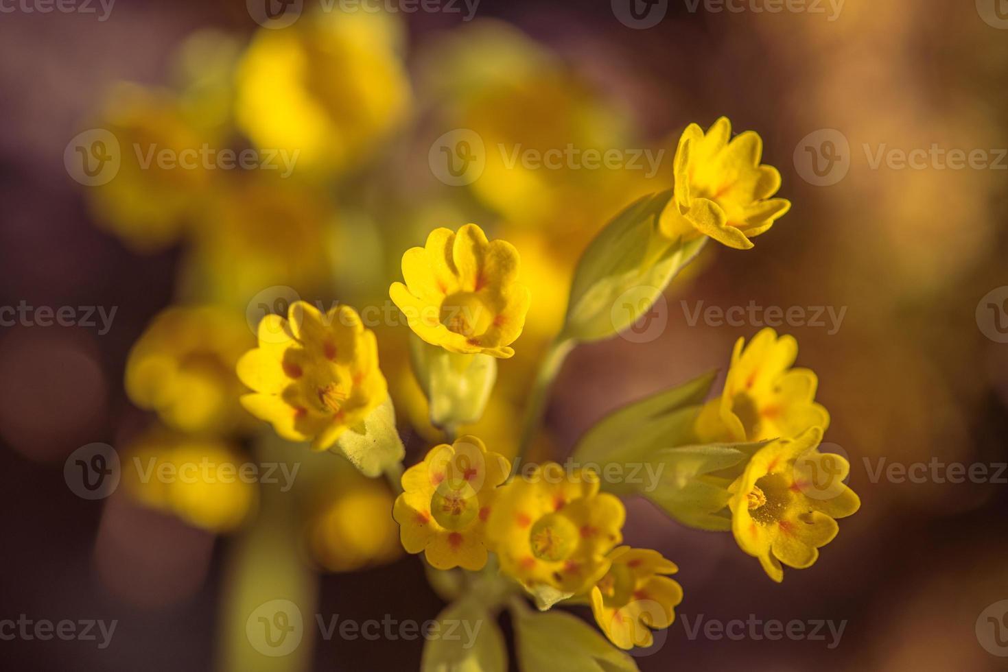 närbild av gula korslip blommor i solljus foto