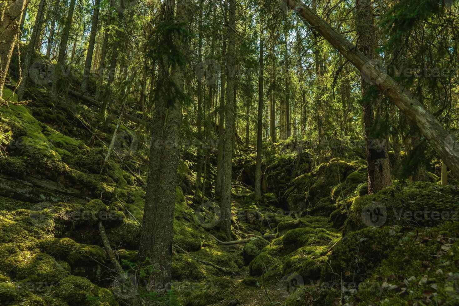 vildvuxen skog som växer upp en bergssida i sverige foto