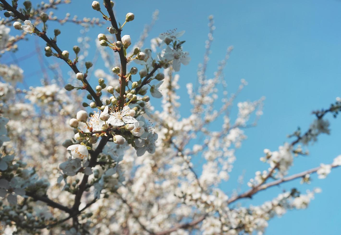 naturlig blommig bakgrund av ett blommande fruktträd. foto