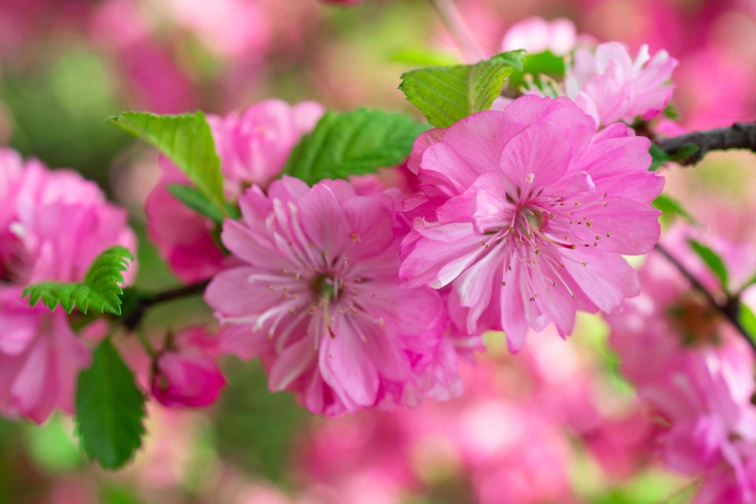 vacker blommig rosa bakgrund av sakura blommor foto