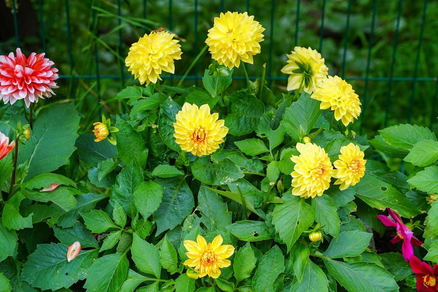 gula blommor dahlior i en blomsterbädd i trädgården foto