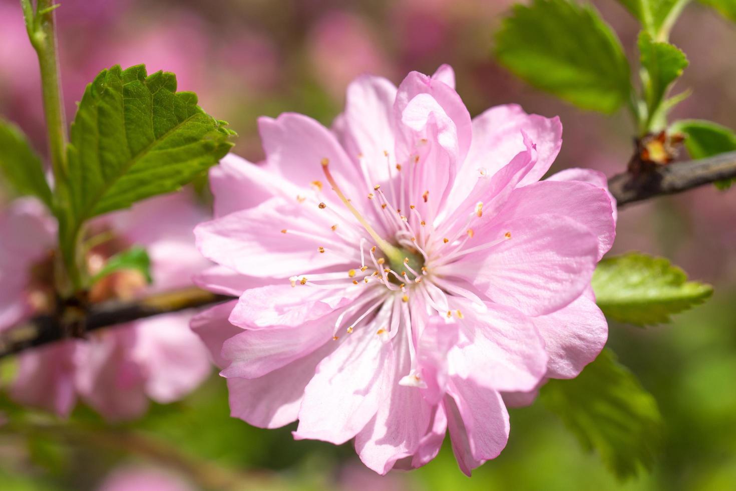 känsliga rosa körsbärsblommor på en suddig romantisk bakgrund. foto
