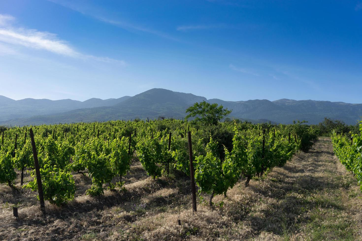 naturlandskap med gröna vingårdar mot en blå himmel. foto