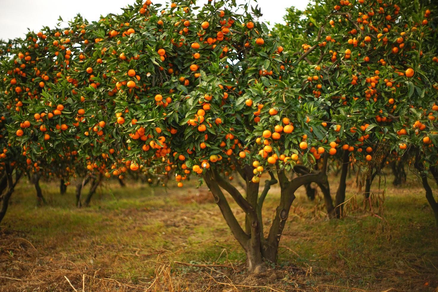 höstlandskap med mandarinträdgård. foto