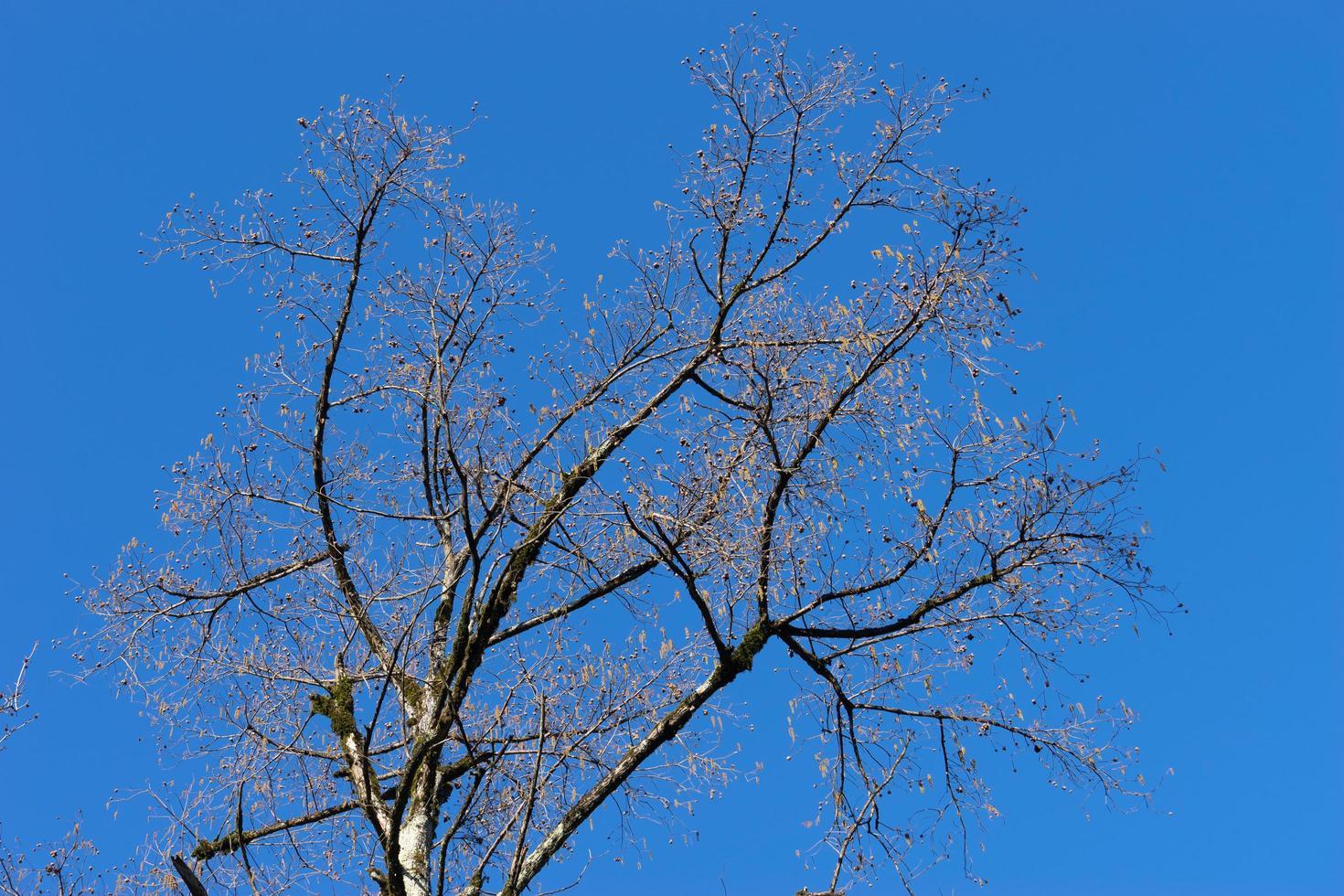 trädgrenar utan löv mot den blå himlen foto