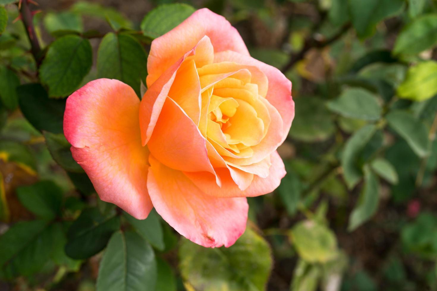 ljus gul-orange ros på suddig grön bakgrund med bokeh. foto