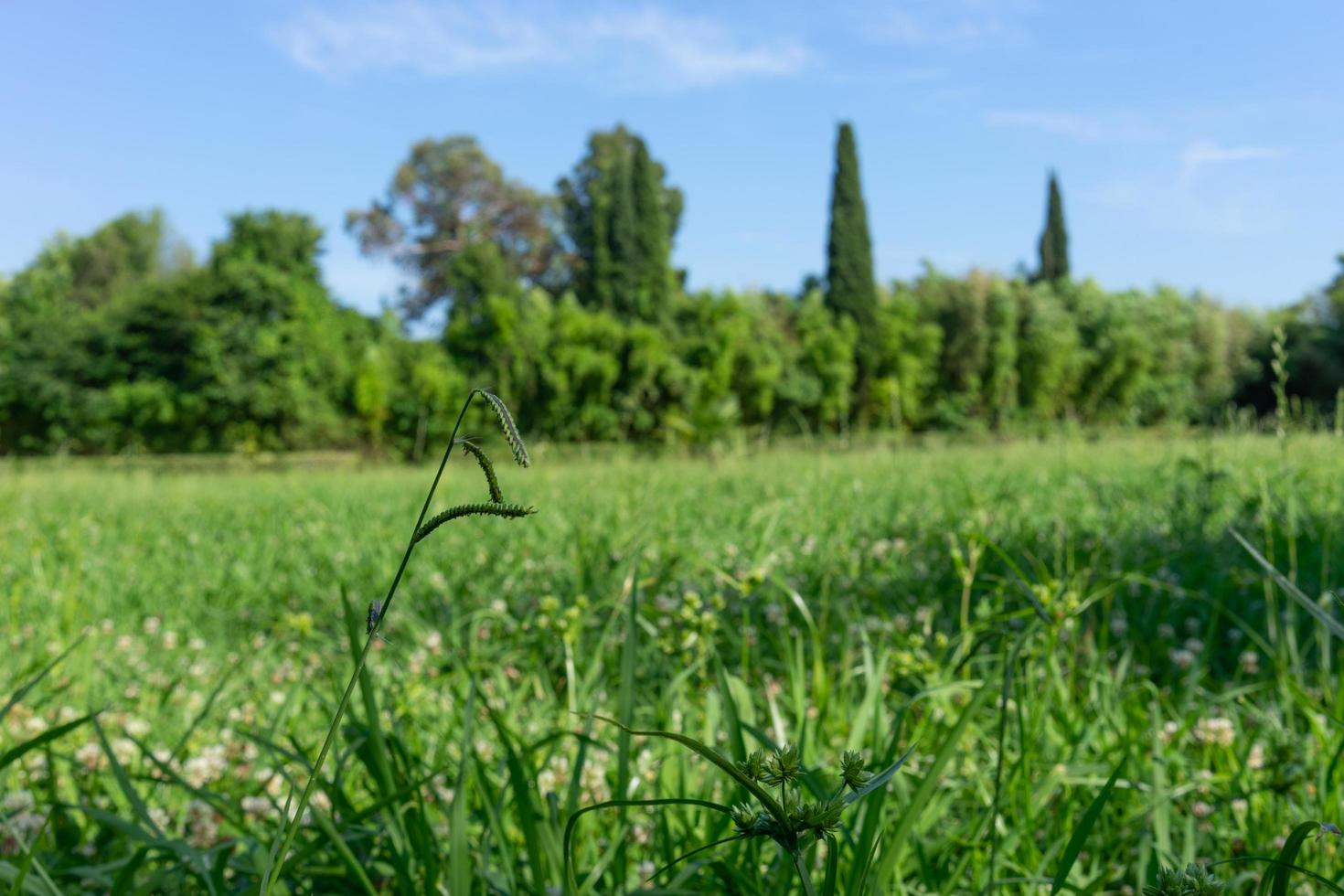 naturlig bakgrund med grönt gräs och träd i horisonten foto